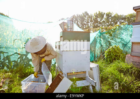 Female beekeeper putting honeycomb trays into plastic container on city allotment - Stock Photo