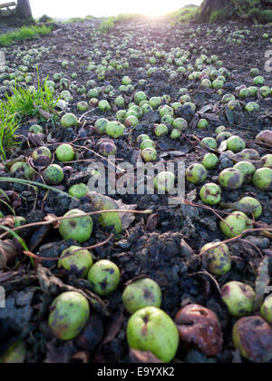 Windfall crabapples for foraging wild food fallen from a crab apple tree cover the muddy ground on a hill farm in - Stock Photo