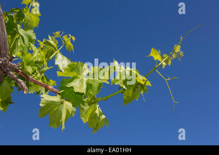 New shoot of a grape vine in springtime. Vitis vinifera. - Stock Photo