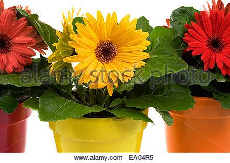 Gerbery v květináči
