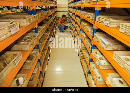 Scientist in vertebrate palaeontology collection storage cabinet full of fossils. - Stock Photo
