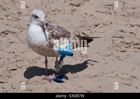 gull with garbage stuck on its leg on a beach in Baja California Sur near Todos Santos - Stock Photo