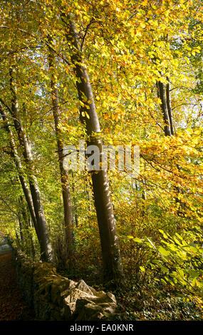 Sunlight through beech trees in the autumn. UK - Stock Photo