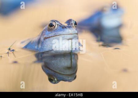 Moor Frog - Stock Photo