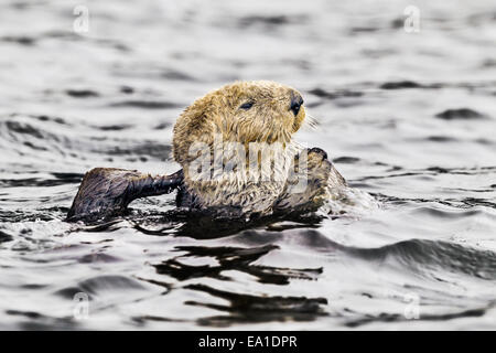 Northern sea otter grooming buoyantly in the sea off the Alaska coast - Stock Photo
