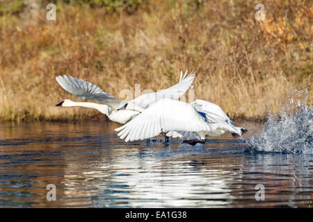 A pair of Trumpeter swan (Cygnus buccinator) take off from a beaver pond in Alaska - Stock Photo