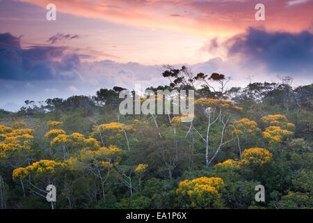 Flowering May Trees at sunset in Altos de Campana national park, Panama province, Pacific slope, Republic of Panama.