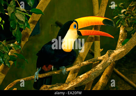 Toco Toucan (Ramphastos toco) on a forest trees open bil - Stock Photo