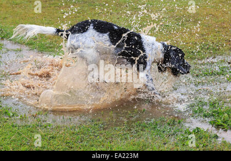 An adult Black and White English Springer Spaniel dog having fun splashing alone in a puddle of water. England, - Stock Photo