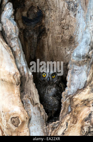 Eurasian scops owl (Otus scops) inside a tree Sardinia Italy - Stock Photo