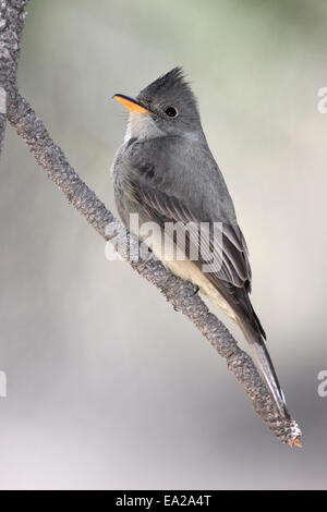 Greater Pewee - Contopus pertinax - Stock Photo