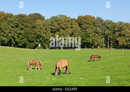horses on a meadow near Binz, Ruegen Island, Mecklenburg-West Pomerania, Germany - Stock Photo