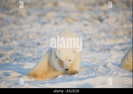 Endangered,Alaska,Polar Bear,Wildlife - Stock Photo