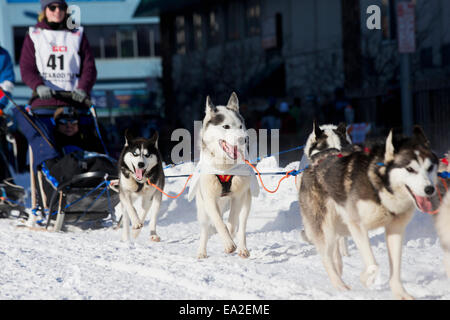 Musher Lisbet Norris #41 drives her dogsled team through Anchorage during the 2014 Iditarod ceremonial start, Alaska - Stock Photo