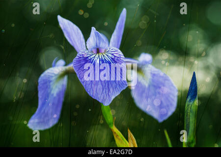Blue Flag Iris (Iris Versicolor); Ontario, Canada - Stock Photo