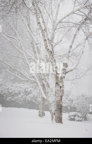 Snow covered birch trees after heavy snowfall in winter - Stock Photo