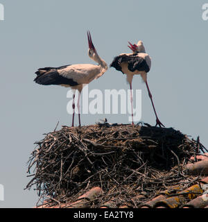 A pair of White Stork on their nest platform doing the bill clapping pairing display. Castro Verde, Portugal. - Stock Photo