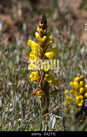 The parasitic Yellow Broomrape growing in the salt marsh at the Ria Formosa Nature Park, Algarve, Portugal. - Stock Photo