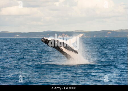 Humpback whale (Megaptera novaeangliae) breaching, Hervey Bay, Queensland, Australia, Pacific - Stock Photo