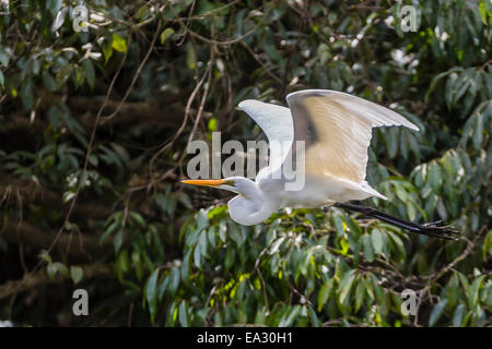 An adult eastern great egret (Ardea alba) in flight on the Daintree River, Daintree rain forest, Queensland, Australia, - Stock Photo