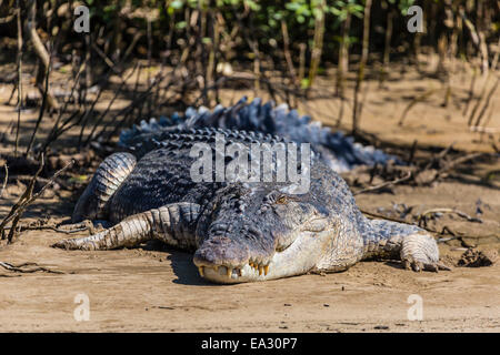 Adult saltwater crocodile (Crocodylus porosus), on the banks of the Daintree River, Daintree rain forest, Queensland, - Stock Photo
