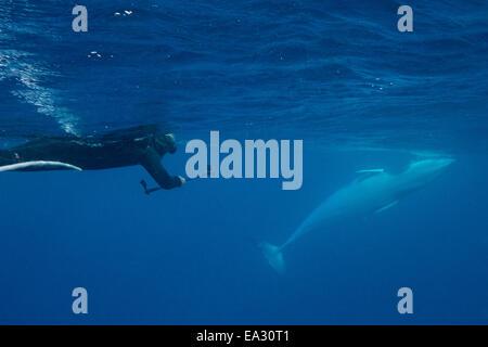 Adult dwarf minke whale (Balaenoptera acutorostrata), underwater with snorkeler, Great Barrier Reef, Queensland, - Stock Photo