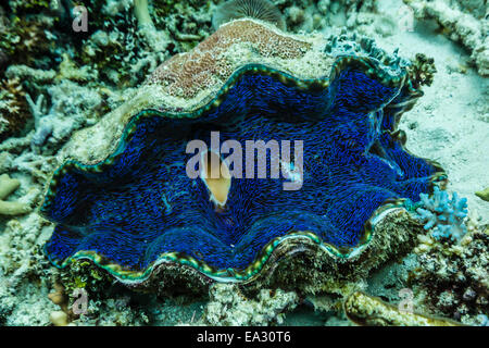 Underwater view of giant clam (Tridacna spp), Pixies Bommie, Great Barrier Reef, Queensland, Australia, Pacific - Stock Photo