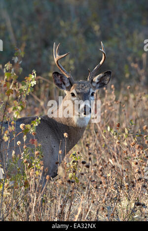 White-tailed deer (whitetail deer) (Virginia deer) (Odocoileus virginianus) buck, Custer State Park, South Dakota, - Stock Photo