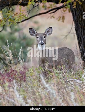 White-tailed deer (whitetail deer) (Virginia deer) (Odocoileus virginianus) doe, Custer State Park, South Dakota, - Stock Photo