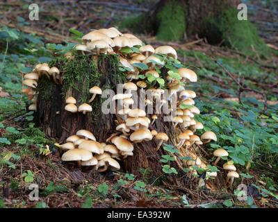 Conifer tuft, Hypholoma capnoides - Stock Photo