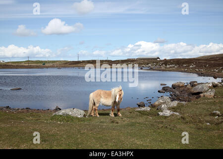 Pony at Loch on South Uist - Stock Photo