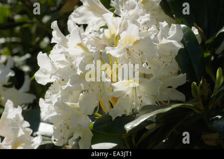 rhododendron catawbiense cunninghams white stock photo. Black Bedroom Furniture Sets. Home Design Ideas