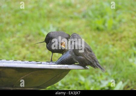 European Starling and Blackbird - Stock Photo