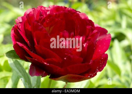 Red blooming garden peony