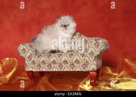 persian kitten on sofa - Stock Photo