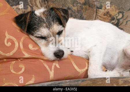 Parson Russell Terrier on sofa - Stock Photo