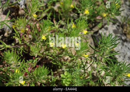 Yellow bugle - Stock Photo