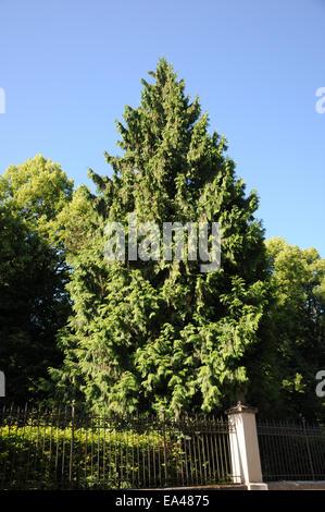 Western red cedar - Stock Photo