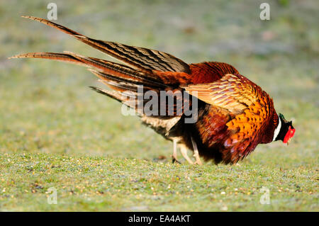 Male pheasant displaying to female - Stock Photo