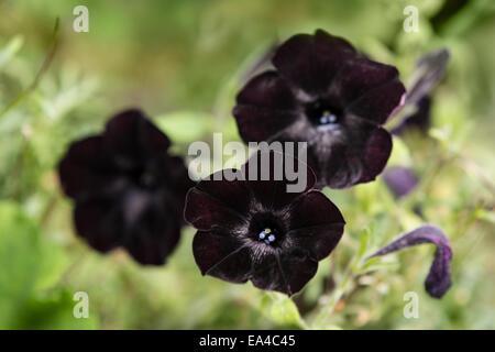 Black flowers of the Black Velvet Petunia. - Stock Photo