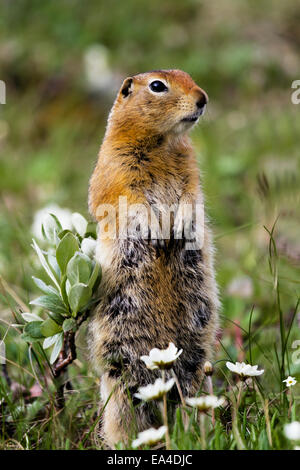 Close up of Artic ground squirrel standing at alert in wild flowers, Highway Pass, Denali National Park, Summer, - Stock Photo