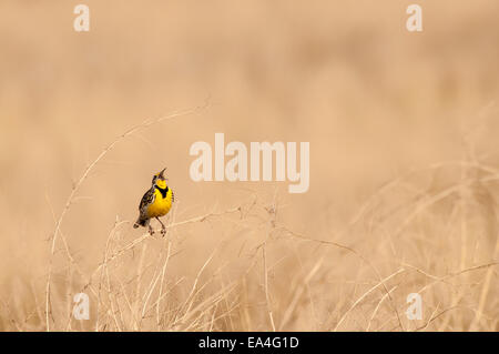 A Western Meadowlark (Sturnella neglecta) sings out, Badlands National Park; South Dakota, United States of America - Stock Photo
