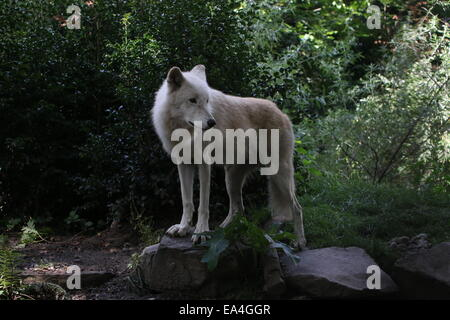 Close-up of the All-white Hudson Bay wolf (Canis lupus hudsonicus) - Stock Photo