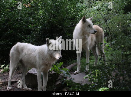 Two white Hudson Bay wolves (Canis lupus hudsonicus) - Stock Photo