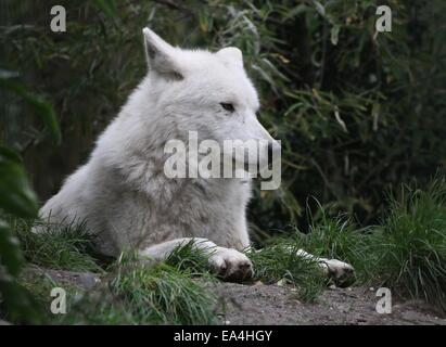 Close-up of the All-white Hudson Bay wolf (Canis lupus hudsonicus) resting in a natural setting - Stock Photo