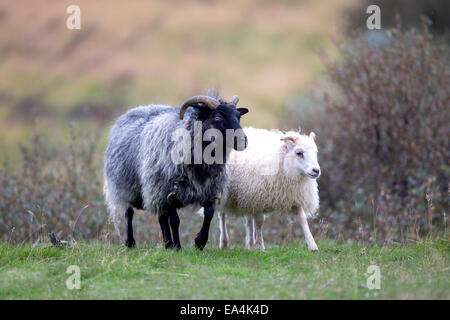 A black sheep and white sheep side by side on grass; Iceland - Stock Photo