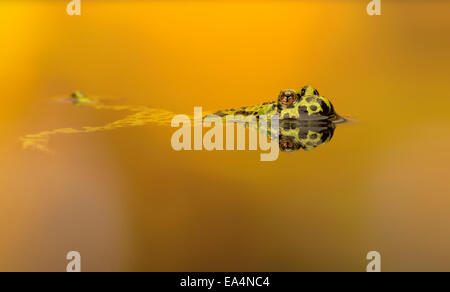 Fire bellied toad (Bombina) swimming in pool, sunset colours Stock Photo