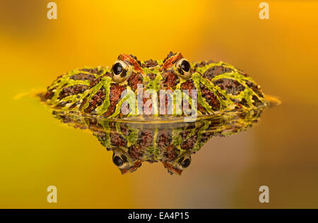 Ornate horned frog (Ceratophrys cranwelli) and its reflection in a pool - Stock Photo