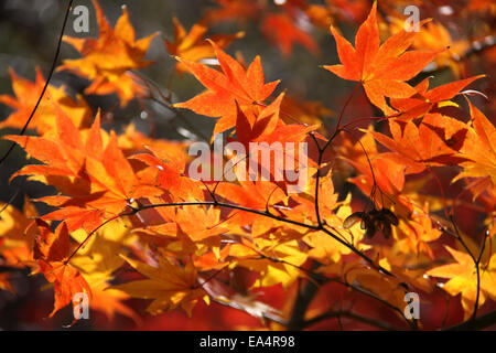 Fall yellow and orange maple leaves - Stock Photo