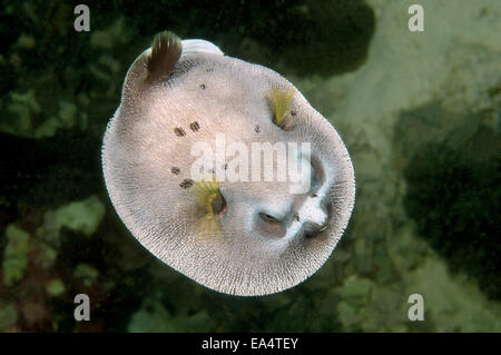 Blackspotted puffer or  dog-faced puffer (Arothron nigropunctatus) Bohol Sea, Cebu, Philippines - Stock Photo